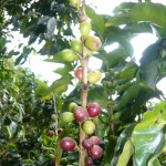 The precious coffee beans.