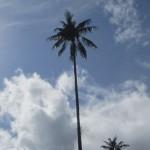 Wax palm on blue sky. Woho!
