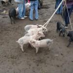 ... pigs ...
