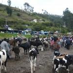 ... cows ...