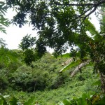 Lush green jungle.