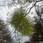 A mistletoe?