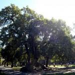 Big Ombu Tree.