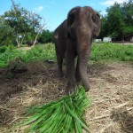 Feeding green stuff to the elephants, who still have their teeth.