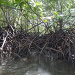 Mangrove roots.