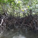 Mangrove roots.