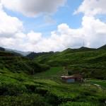 Another tea plantation.