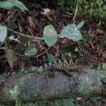 Borneon forest dragon.