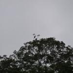 Hornbills.