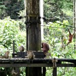 Macaques trying to get some food.