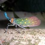 Lantern bug.
