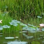 More lotus flowers.