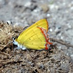 Butterfly I.
