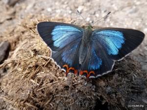 Butterfly II.