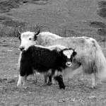 More yaks.