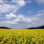 Yellow canola field.